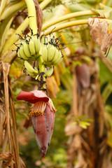 banana and banana flower.