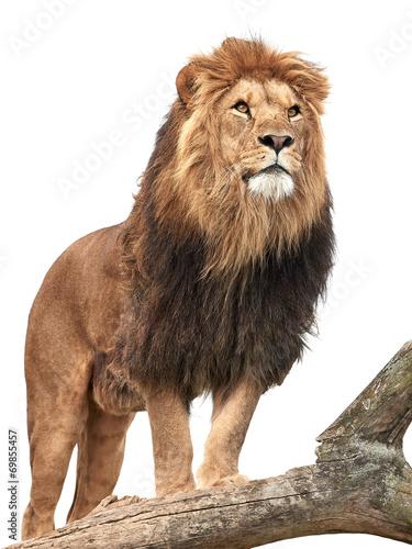 Fototapeta Lion (Panthera leo)