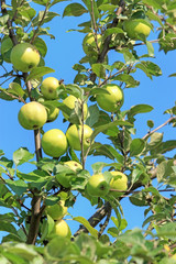Wild apple tree closeup in summer day