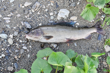 The European grayling.