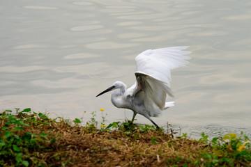 Garzetta in volo primo piano ali aperte al lago