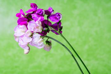 Fiori viola e rosa sfondo verde in studio still life