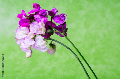 canvas print picture Fiori viola e rosa sfondo verde in studio still life