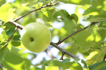 Organic green apple on branch