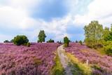 Wanderweg durch die blühende Heidelandschaft