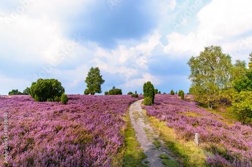 Fotobehang Noord Europa Wanderweg durch die blühende Heidelandschaft