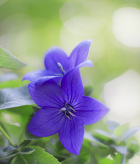 Purple Platycodon grandiflorus flower