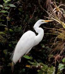 Egret among air plants in Everglades swamp