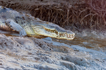 American crocodile on muddy bank in Everglades