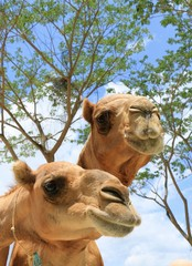 The Camel in Thailand Farm in Vacation trip