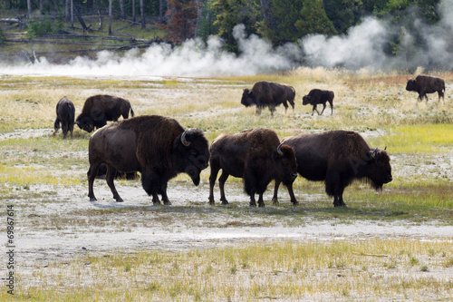 Foto op Aluminium Bison Family of North American Buffalo near the hot springs in Yellows