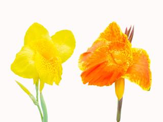 beautiful orange and yellow Canna flower