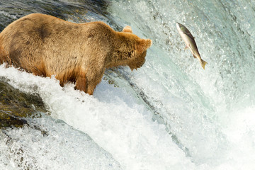 Grizzly mit Lachs (Alaska)