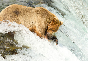 Grizzly beim Lachsfang (Alaska)