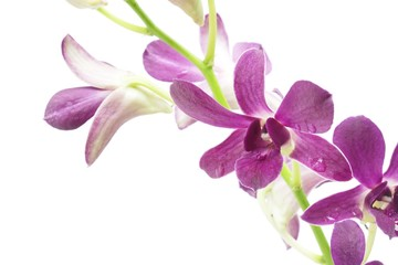 Purple orchid plants