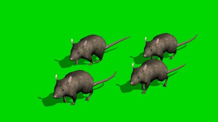 Gray rats runs - green screen