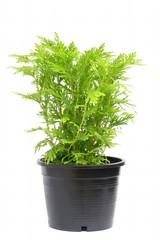 Planting fern in pot