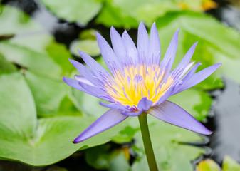 purple waterlily flower blooming in a green oasis.