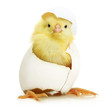 Cute little chicken coming out of a white egg - 69872266