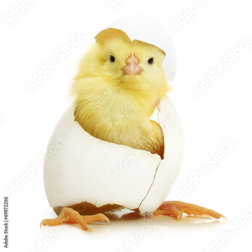 Foto op Canvas Egg Cute little chicken coming out of a white egg