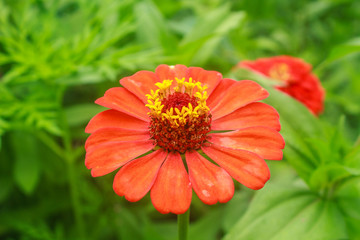 Zinnia elegans in field