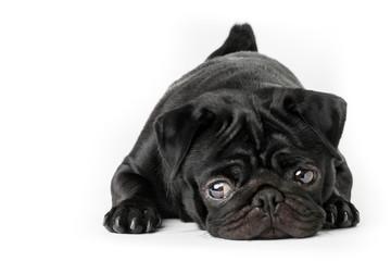 Cane carlino nero isolato su sfondo bianco