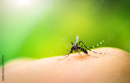 Mosquito sucking blood - 69881850