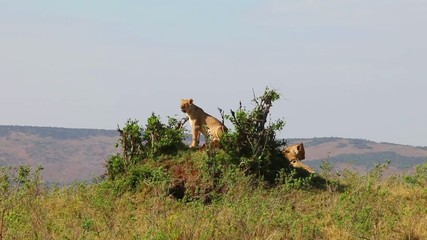 Two lionesses sitting on the hill. They inspect the area.
