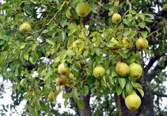 Birnenbaum mit Früchten