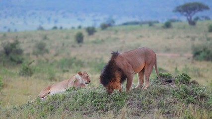Lion sniffing the grass. Checks marked territory.