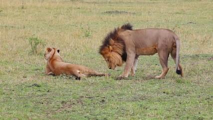 Masai Mara National Reserve, Kenya. Mating lions.