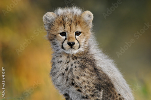 Keuken foto achterwand Afrika African Cheetah cub