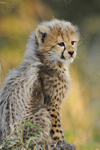 Poster African Cheetah cub