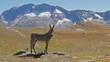 alpine landscape with mule