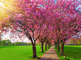 Walk path surrounded with blossoming plum trees