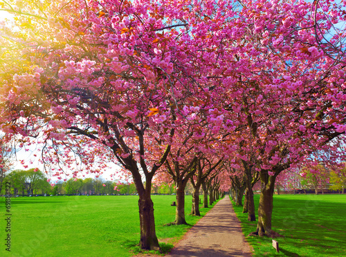 Fotobehang Kersen Walk path surrounded with blossoming plum trees