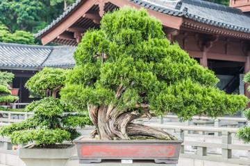 bonsai tree Chi Lin Nunnery Kowloon Hong Kong