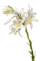 white lily on the white background