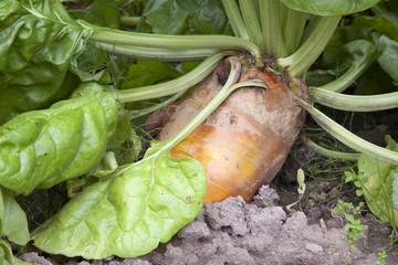 beet plant in garden