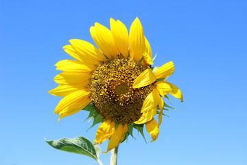 Sunflower flower with a caterpillar