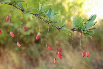 Frutos silvestres, bayas de Agracejo. Berberis vulgaris.