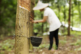 Fototapety tapping latex from the rubber tree