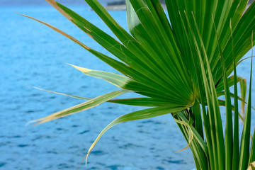 Fan Palm Leaves over the Sea