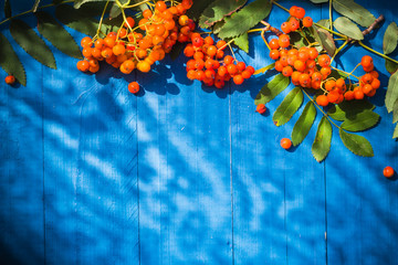 Autumnal background rowan fruits blue wooden board