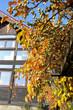 Herbst Garten Kiwi Weiki