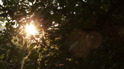 Apple Tree at Sunset Rays of Light Soft Dolly Movement HD