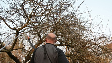 gardeners saw trim fruit tree branch with special tool in spring