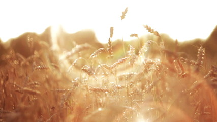 Wheat at Sunset Rays of Light with cool Sunbeams HD