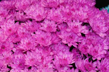 着色されたキクの花