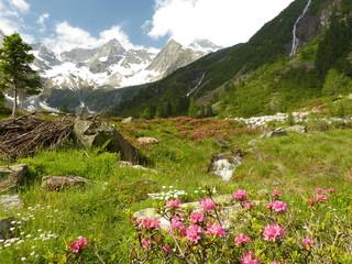 Alpenrosen auf der Hochalm